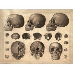 Office: ANATOMY - Human Skeleton