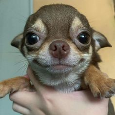 What is a blue chihuahua? How are blue chihuahua puppies different? Cute Little Animals, Cute Funny Animals, Funny Animal Pictures, Funny Dogs, Little Dogs, Cute Dogs And Puppies, Baby Dogs, I Love Dogs, Doggies