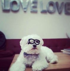 Snowy had a lot of scripts to proof read so luckily he had his glasses! #cute #maltese #adorable #glasses #dog #snowythedog #officedog