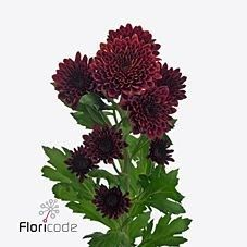 <p>  CHRYSANT SGL. FLAMENCA is a Red disbudded, single headed cut flower. It is approx. 70cm and wholesaled in Batches of 20 stems.</p>