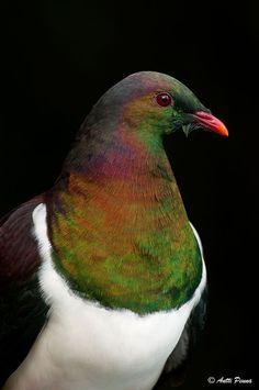 Kereru - New Zealand Pigeon Animals And Pets, Baby Animals, Cute Animals, Love Birds, Beautiful Birds, Wood Pigeon, Pigeon Bird, Tui Bird, Zealand Tattoo