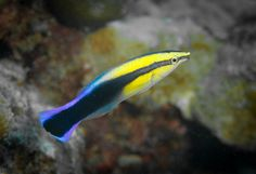 Hawaiian Cleaner Wrasse (Labroides phthirophagus)