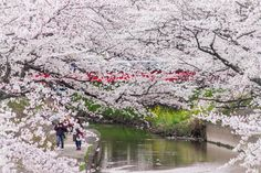 Walking under the cherry blossoms… walking surrounded by the cherry blossoms // By David LaSpina