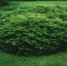 Juniperus sabina 'Arcadia' (Arcadia Juniper)   Water Use:  Low to Medium   Size:  1' – 1.5' x 4' – 5'   Sun:  Full Sun   CA Native:  No         Deer Resistant:  Rarely damaged   Wildlife Value:  None