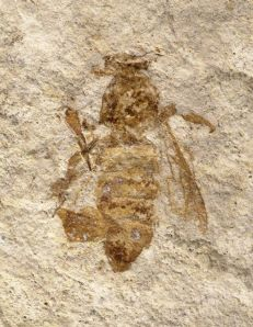 "Bees have a long history in our world. Here is a fossil of a ""giant honey bee"" found in Iki Island, Japan. KU Entomologist Michael Engel interpreted the fossil as being over 19 million years old. I Love Bees, Birds And The Bees, Bee Pictures, Bee Drawing, Buzzy Bee, Bee Skep, Bees And Wasps, Bee Friendly, Bee Jewelry"