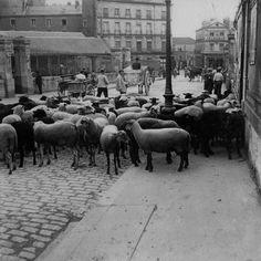 Un troupeau de moutons dans la rue | Victor Girard, photographe à Nantes en 1900