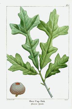 Michaux North American Sylva antique prints by Bessa, Redoute 1819