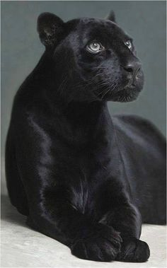 Panthère Noir / Black Panther                                                                                                                                                                                 Plus