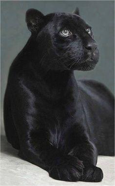 Panthère Noir / Black Panther