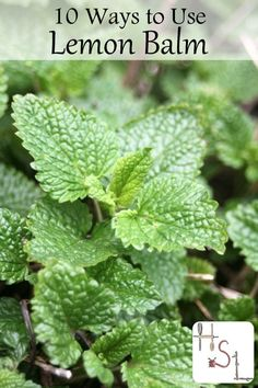 Lemon Balm is a bush