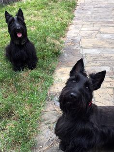 The Adventures of Indy and Lucy on FB Scottish Terrier Puppy, Terrier Dogs, Rainbow Bridge, Cairns, Scottie Dog, Dogs Of The World, Westies, Scooters, New Baby Products