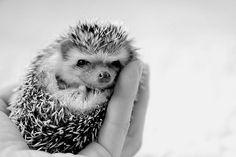 bebe hedgehog