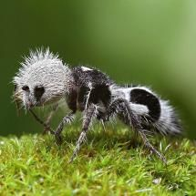 Panda ant Chilian insect...interesting