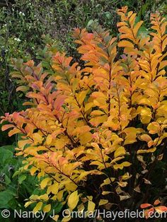 'Tor' birchleaf spirea (Spiraea betulifolia) in fall color [October Nancy J. Ondra at Hayefield Gardening Websites, Gardening Tips, Outdoor Landscaping, Landscaping Ideas, Garden Shrubs, Garden Plants, Tall Plants, Small Trees, Trees And Shrubs