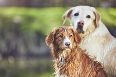 What is a Nova Scotia Duck Tolling Retriever? - Retriever Advice - Golden Retrievers, Labrador Retrievers, Chesapeake Bay Retriever, Flat-Coated Retriever, Curly-Coated Retriever, Nova Scotia Duck Tolling Retriever Rare Dogs, Rare Dog Breeds, Labrador Retrievers, Golden Retrievers, Curly Coated Retriever, Nova Scotia Duck Tolling Retriever, Dog Boarding, Family Dogs, Dog Friends