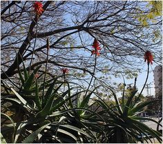 Blooming aloes in a park
