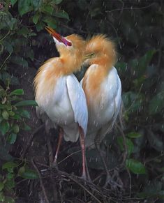 https://flic.kr/p/cbNhEs | #783 黃頭雨儱 Rainy Love | 黃頭鷺.攝於台灣 新北市 坪林 Cattle Egret, taken at Pinglin, New Taipei City, TAIWAN