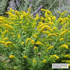 Golden Fleece is a small growing goldenrod with sprays of arching golden-yellow flower spikes in late summer. A strong but compact plant, it is a great companion planted in front of taller, late blooming perennials. Drought resistant/drought tolerant plant (xeric).