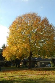 Tennessee State Tree Tulip Poplar I Live In The State Of