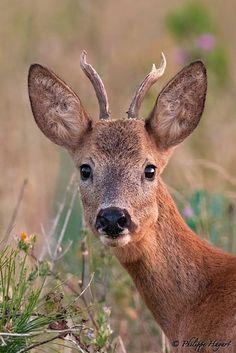 Roe deer (Portrait) - by   Philippe Hayart