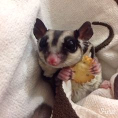 Umm... maybe the cutest thing I've ever seen - A Day In The Life Of A Sugar Glider