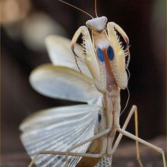 Idolomantis diabolica / Giant Devil's Flower Mantis Care Sheet Beautiful Bugs, Animals Beautiful, Cute Animals, Amazing Nature, Beautiful Creatures, Cool Insects, Bugs And Insects, Wildlife Nature, Nature Animals