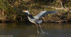 Great Blue Heron, landing at the shore on Lake Luxembourg.