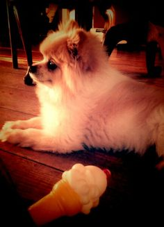 This Pomeranian loves his toys!
