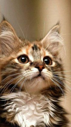 If you're looking for Free Maine Coon Kittens for adoption we've written some tips on how to find Free Maine Coon Cats and where to look for them. Cute Cats And Kittens, I Love Cats, Crazy Cats, Kittens Cutest, Cutest Cats Ever, Pretty Cats, Beautiful Cats, Animals Beautiful, Pretty Kitty