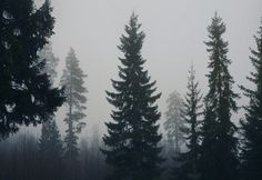 Forest + Mist