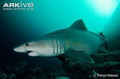 Smalltooth sand Tiger Shark (Odontaspis ferox)