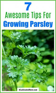 Herbs Gardening 7 Tips for Growing Parsley- Stop buying parsley at the grocery store and grow your own that you can use fresh! Here are my 7 top tips for growing parsley! Growing Herbs, Growing Vegetables, Parsley Growing, How To Grow Parsley, Growing Gardens, Gardening For Beginners, Gardening Tips, Pallet Gardening, Gardening Services