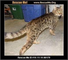Bengal cat adoption nc