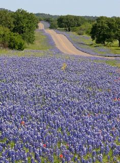 Texas Bluebonnets along the highway in spring.