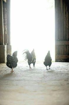 Chickens exiting barn