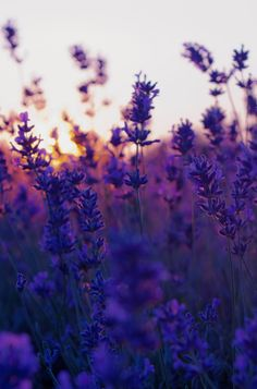 Wallpaper IPhone Lavender
