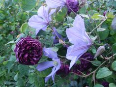 Clematis Prince Charles, flowers June to August, sunny spot well drained soil, cut back to about a 2 foot in winter