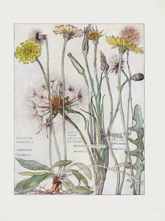 """heaveninawildflower: """" The Daisy Family. Arts and Crafts-style botanical illustrations by H. Isabel Adams taken from 'Wild Flowers of the British Isles.' Published 1907 by William. Floral Illustration, Illustration Botanique, Science Illustration, Vintage Botanical Prints, Botanical Drawings, Antique Prints, Botanical Flowers, Botanical Art, Botanical Wallpaper"""