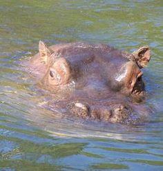 Flusspferd Basler Zoo