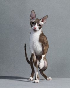 Cornish Rex;  This cat first surfaced in Cornwall, England, in the 1950s. It uses its agile paws almost like hands.
