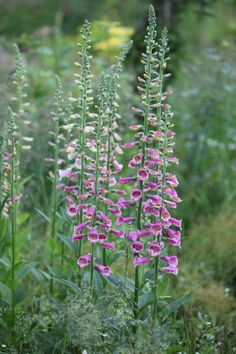 Digitalis+purpurea