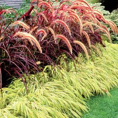 Chartreuse Japanese forest grass in front of purple fountain grass