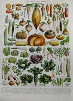Vegetables botanical print- 1936 Vintage kitchen decor- Rustic kitchen art- Farmhouse wall decor- French country decor- Food poster Veggies – Best Home Plants Vintage Botanical Prints, Antique Prints, Botanical Art, Vintage Prints, Vintage Art, Botanical Kitchen, French Vintage, Vintage Style, Vegetable Chart