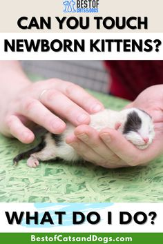 Can You Touch Newborn Kittens? Yes, you may touch them, but cat experts advise that you should avoid touching newborn kittens unless there's a very good reason to do so such as...Read more here! #NewbornKittens #CatCare #Kittens Cat Health Care, Newborn Kittens, Cat Care Tips, Healthy Pets, Happy Animals, Great Pictures, Cats And Kittens, Cat Lovers, Dog Cat