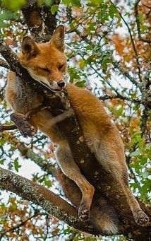 Fox sleeping on a tree branch Nature Animals, Animals And Pets, Beautiful Creatures, Animals Beautiful, Cute Baby Animals, Funny Animals, Fox Pictures, Pet Fox, Exotic Pets