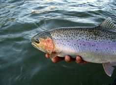 halfpounder Klamath River, Sacramento River, River Lodge, Fall River, Salmon Fishing, Trout, Fly Fishing, Photos, Pictures
