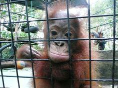 Statement by JAAN - Orangutan Outreach Orangutan Monkey, Mountain Gorilla, List Of Animals, Orangutans, Love You Baby, Animal Species, Extinct, Guerrilla, Primates