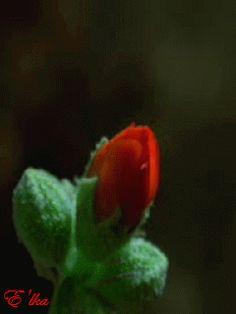 гифки распускающиеся цветы