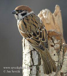 Photo of vrabec polní Passer montanus Tree Sparrow Feld Sperling