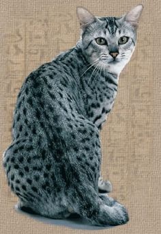 Egyptian Mau: one of the few naturally spotted cat breeds, one of the fastest cats, they've been clocked at over I Love Cats, Crazy Cats, Cool Cats, Beautiful Cats, Animals Beautiful, Cute Animals, Kittens Cutest, Cats And Kittens, Egyptian Mau